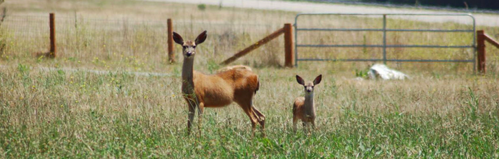 Black Tailed Deer are frequently seen on campus